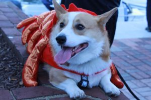 Corgis gather in downtown Annapolis to strut in their costumes